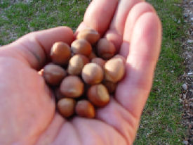 average hybrid hazelnuts