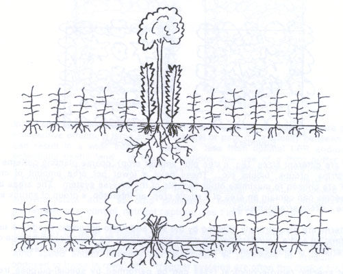 Figure 1 - Lower shows unconstrained tree growth. Upper shows tree-crop association increasing the LER.