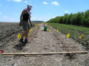AAFC-PFRA technician inspects alley-cropping site.