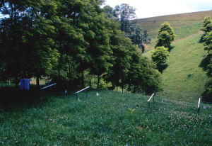 Rows of black locust planted in a hilly pasture.