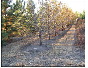When fabric is not used, weed control can be handled by tillage (hand hoeing or rotary tree cultivation), mulch, or herbicides.  Glyphosate works well when trees are larger and not as sensitive to herbicide drift.